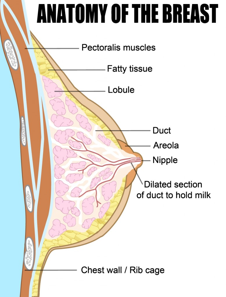 Breast Anatomy: Learn About the Structure and Blood